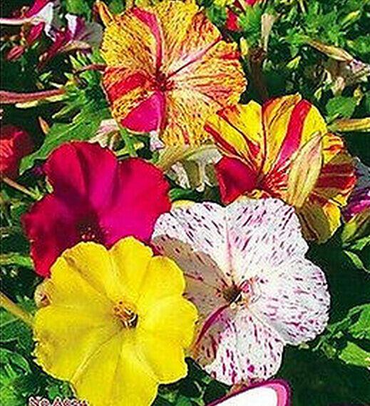 FD1797 Multicolored Jasmine Flower Seed Four O'clock Mirabilis Jalapa 20 Seeds G