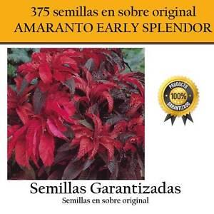 350-semillas-de-AMARANTO-EARLY-SPLENDOR-con-hojas-y-flor-de-color-rojo-amaranta