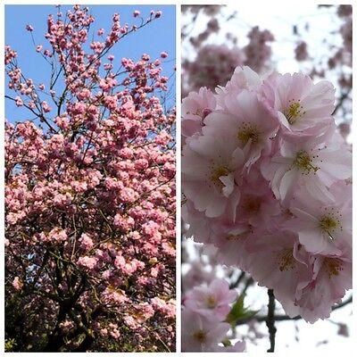 Japanische Blütenkirsche Prunus serrulata Kanzan, rosa blühend 40-50 cm 3 L Topf