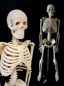menschliches-Modell-Skelett-Lehrmodell-ANATOMIE-85cm-Studium-Knochen-NEU