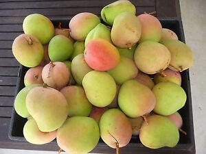 Exotic-collectable-Fruit-Tree-Mangifera-indica-034-Bowen-Kensington-Pride-034-Mango