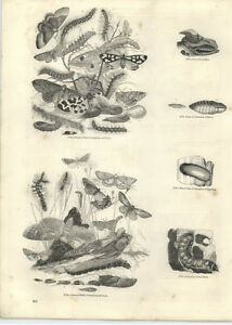 1854 Engravings Moths Caterpillars And Pupae Goat Moth Wintering Nest - <span itemprop='availableAtOrFrom'>Jarrow, United Kingdom</span> - If for any reason you are not satisfied with your item, do let us know. If you wish to return it, you may, within 7 days, and we will issue you with a full refund. Most purchases from busi - <span itemprop='availableAtOrFrom'>Jarrow, United Kingdom</span>