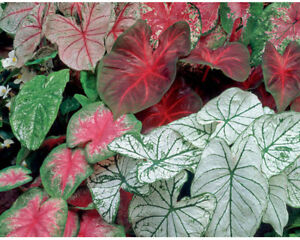 100 Pcs Pack Caladium Flowers Seeds Araceae Elephant Ear Heart Of