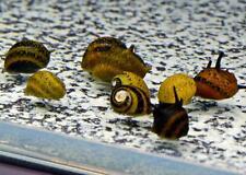 5 TRI COLOR HORNED NERITE SNAIL freshwater moss java shrimp guppy live