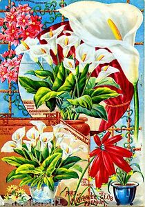 Mayflower Calla Lily Vintage Flowers Seed Packet Catalogue Advertisement Poster