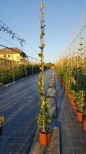 Rhyngospermum 4 piante Falso Gelsomino Rincospermum h 120+ cm vaso 17