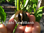 Swiss-Chocolate-Chilli-A-New-Sensational-Habanero-Chilli-Variety-OZ-Grown