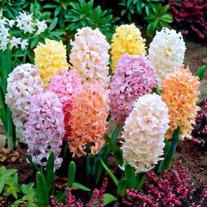 5 Bulbes Jacinthe Couleur Melangee Planter Automne Pour Jardin