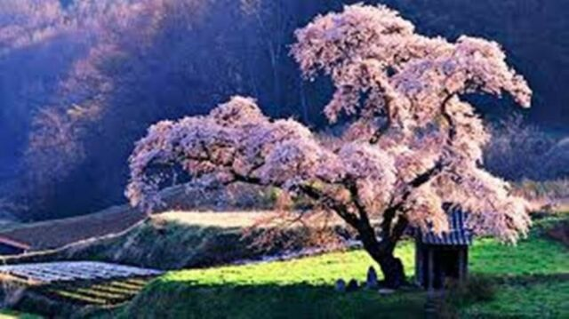 12 Cherry Tree Seeds Domestic Prunus Avaium Sweet Hardy Abundant Fruit Bearing