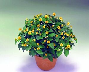 Melampodium-Seeds-Higro-Yellow-034-New-Variety-034-Butter-Daisy-Type-50-Seeds