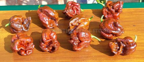 Extremely Hot Chili Pepper DOUGLAHT X 10 Seeds Vegetable Organic Garden