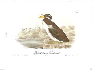 Horned-Billed-Guillemot-Vintage-Bird-Print-by-John-James-Audubon
