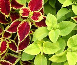 COLEUS-UNDER-THE-SUN-FUSEABLES-Solenostemon-Scutellarioides-40-Bulk-Seeds