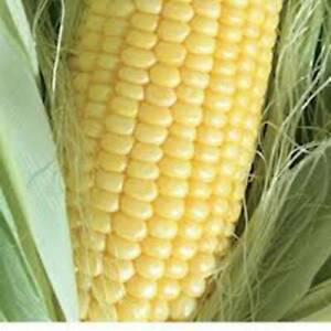 CORN SEED, GOLDEN BANTAM SWEET CORN, HEIRLOOM, ORGANIC, NON GMO, 20+ SEEDS,