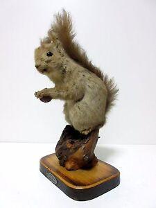 stuffed animals Japanese,Japan<wbr/>,Real Squirrel taxidermy Sciurus vulgaris orientis