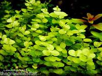 Golden Creeping Jenny ( Lysimachia Nummularia Aurea ) Easy Live Aquarium Plants
