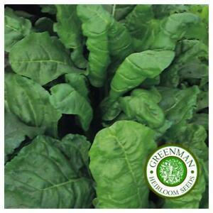100-Graines-de-EPINARD-PERPETUEL-Graines-legumes-Spinach-VIVACE
