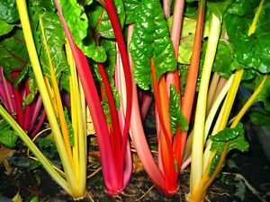 Rainbow Swiss Chard Seeds Silverbeet Bright Light Seeds Organic Non GMO Heirloom