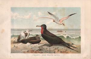 1895 VICTORIAN NATURAL HISTORY PRINT ~ FRIGATE & TROPIC BIRDS