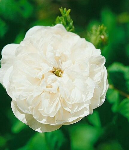 STORICA arbusto Rose in A-qualità merce radice /'mme Hardy/'