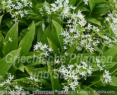🔥🌿 Bärlauch Wald Knoblauch 50 Samen allium ursinum Kräuter Wildkräuter