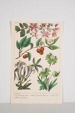 Estampe originale aquarellée XIX° Botanique LagerstroemiaArbre à Thé Ellebore