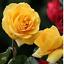 Semillas-rosas-disponible-en-9-tonos-diferentes-10-20-o-30-semillas miniatura 5