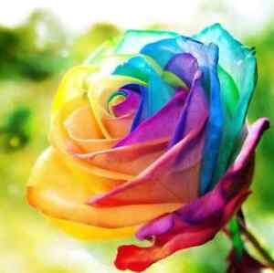 200pcs-Colorful-Rainbow-Rose-Flower-Seeds-Home-Garden-Plants-Multi-Color-Beauty