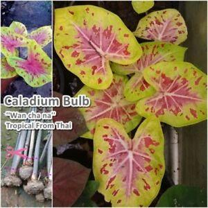 Caladium-Bulb-Queen-of-the-Leafy-Plant-039-039-Wanchana-039-039-Colourful-Tropical-Thailand