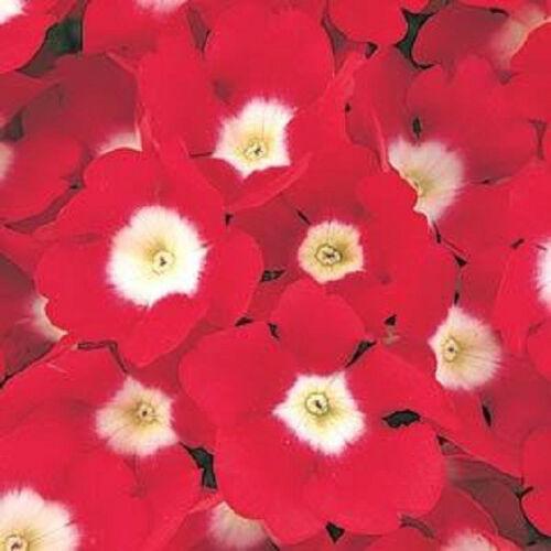 50 Verbena Seeds Quartz XP Red With Eye Flower Seeds