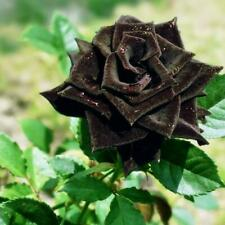 100pcs Pokemon Designed Pokeball Black Pearl Rose Seeds Seeds Attractive seeds*