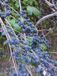 55 Vivir Privet Arbustos Para Hedges Live 1 Plantas Jardin Valla De - Arbustos-para-vallas
