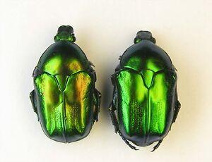 Potosia-affinis-affinis-2-pcs-Cetoniinae