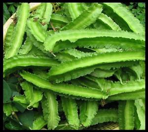 Dragon Bean DARA DHAM BALA manila GOA WINGED PEA seeds