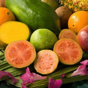 80pcs-Echte-Guave-Samen-Psidium-Guajava-Guava-Leckeres-Obstsamen-Fruechte-Garten