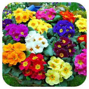Primrose-Mini-Plug-Plants-x-15-Primula-vulgaris-039-Cabaret-Mix-039-Perennials