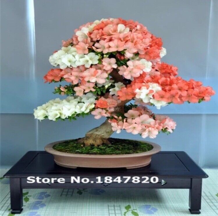 30pcs Purple Japanese Maple Seeds Rare Indoor Bonsai Tree Seeds For Sale Online Ebay