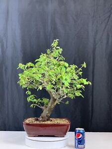 Chinese Quince Bonsai Ebay
