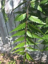 Fresh Neem Leaf (Azadirachta Indica, Margosa) 20 stems with approx 10-12 leaves