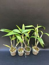 EPIDENDRUM VIVIPARUM ORCHID SPECIES FRAGRANT BLOOMS PLANT