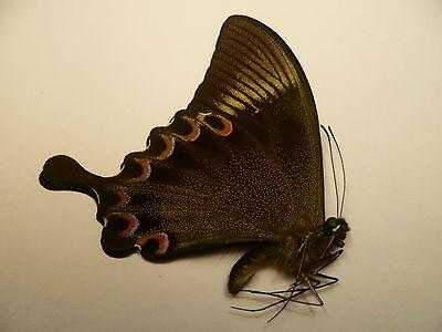 Papilio paris arjuna   M   ,  UNMOUNTED,  SIN MONTAR  A1