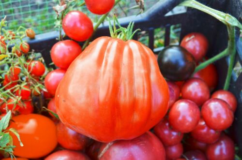 Seeds seeds from own crops 10 Tomato Seeds Albenga