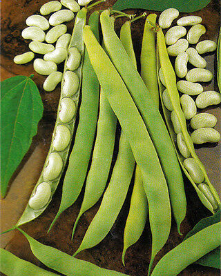 VEGETABLE  DWARF BEAN CANNELLINO  LINGOT  75 FINEST SEEDS