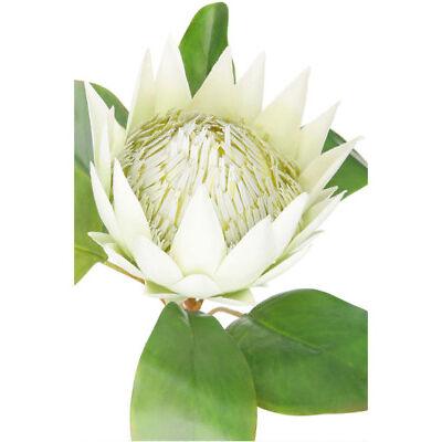 NEW Australian House & Garden King Protea Stem, 67cm - Green