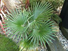 3x Hanfpalme ca. 15-20 cm  Trachycarpus FROSTHART