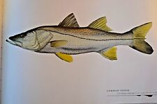 """Great fish Pictures  FRAMED COMMON SNOOK 18""""x12"""""""
