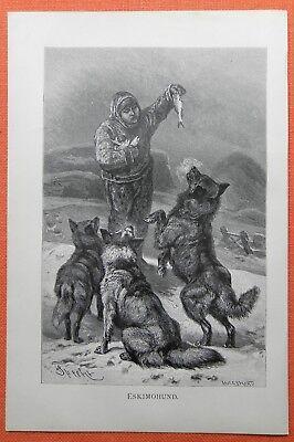 Eskimohund Schlittenhund Stich Von 1891 Alaska Hundeschlitten Klondyke Verpackung Der Nominierten Marke