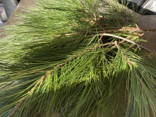 Fresh Cut Real Lot Of 20 Pine Evergreen Tip Winter Wedding Wreath Making DIY
