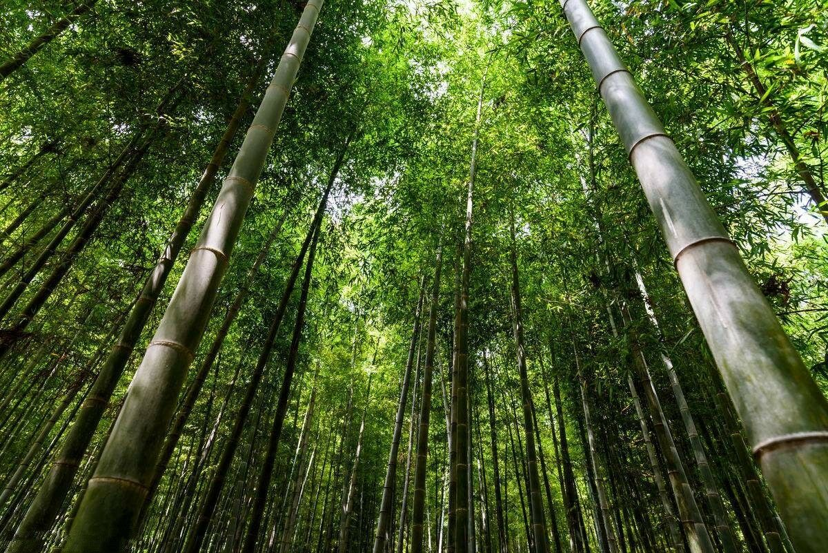 Bambú phyllostachys pubescens moso () Semillas planta gigante peso 500g
