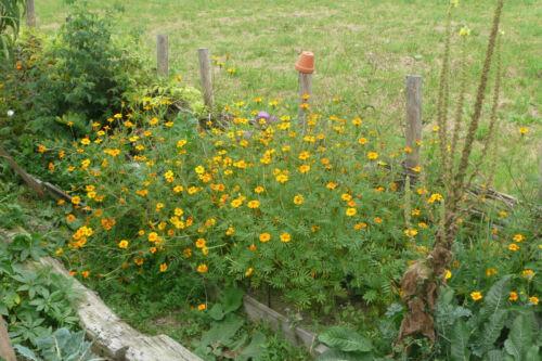 Hohe Studentenblume essbare Blüten ökologischer Anbau Tagetes erecta